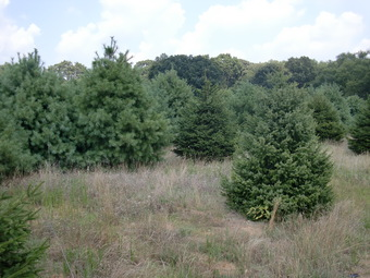 10' Serbian Spruce in foreground