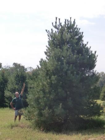 20-22' White Pine