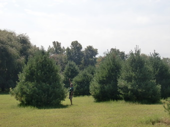 16-18' White Pine