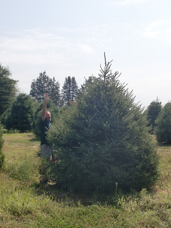 12-14' White Spruce