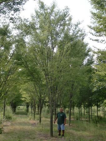 """6"""" Green Vase Zelcova root pruned at 4"""""""