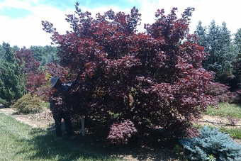 10-12' X 10-12' Specimen Sized Japanese Bloodgood Maple