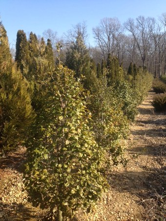 4-6' Greenleaf American Holly