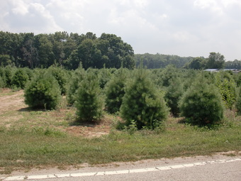 Field of 6-10' White Pines