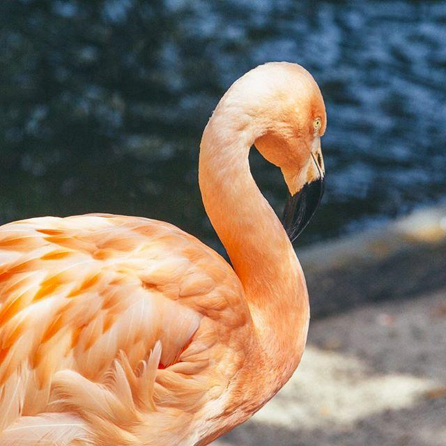 What's better to cure the Monday blues than this pretty pretty pink flamingo? 😍 . . #SunShinesHere #SunkenGardens #HappyMonday #flamingo #flamingos #explorestpete #stpete #igersstpete #liveamplified #ilovetheburg
