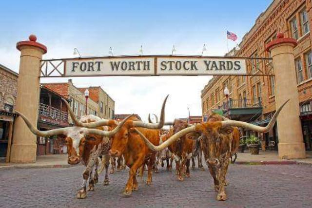 The Herd Daily Longhorn Cattle Drives in Fort Worth Texas