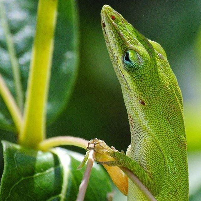 Thursday . Featured: @nature.is.magic . How cute is this little guy? Such a great shot of an inquisitive little green anole sizing up his lunch at Florida Botanical Gardens...well done, Michelley! Hope everyone's Thursday is a good one! ✌🏼️😉 . Feature chosen by: @HaveSteph.WillTravel