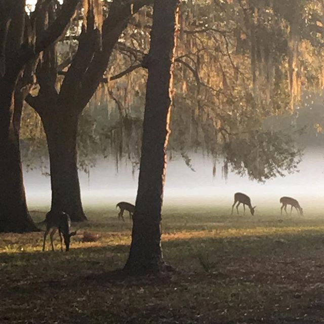 Detoured through my favorite park and got a lovely surprise! #deer #parks #running #run #morningrun #fog #lovefl #tampa #palmharbor #welivehere #liveamplified #261fearless #261runner #261fearlessambassador #befearlessbefree #nicolewilkinschallenge #nwc30