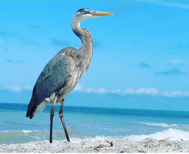 When you look up from your book and this natural beauty is right in front of you. Only if I could get some jewelry on her. 🌴🌴🌴🌴🌴🌴🌴🌴🌴🌴🌴🌴🌴🌴🌴🌴🌴🌴🌴🌴 #nopicturesplease @natgeo @visitflorida  #bird #seabird #beachbird #gulfofmexico🌊🌎 #cleargram #pureflorida #positivevibes #positiveenergy #flashesofdelight #passionpassport #thecitysidewalks #abmtravelbug #abmlifeissweet #dametraveler #mytinyatlas #finditliveit #Lovefl #liveamplified