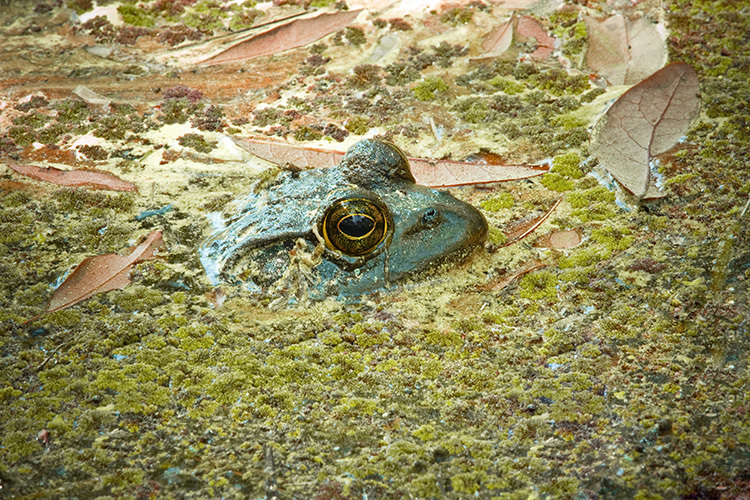 Ask A Naturalist What Do Frogs And Toads Do In Winter