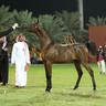 AJMAN ARABIAN HORSE SHOW 2019