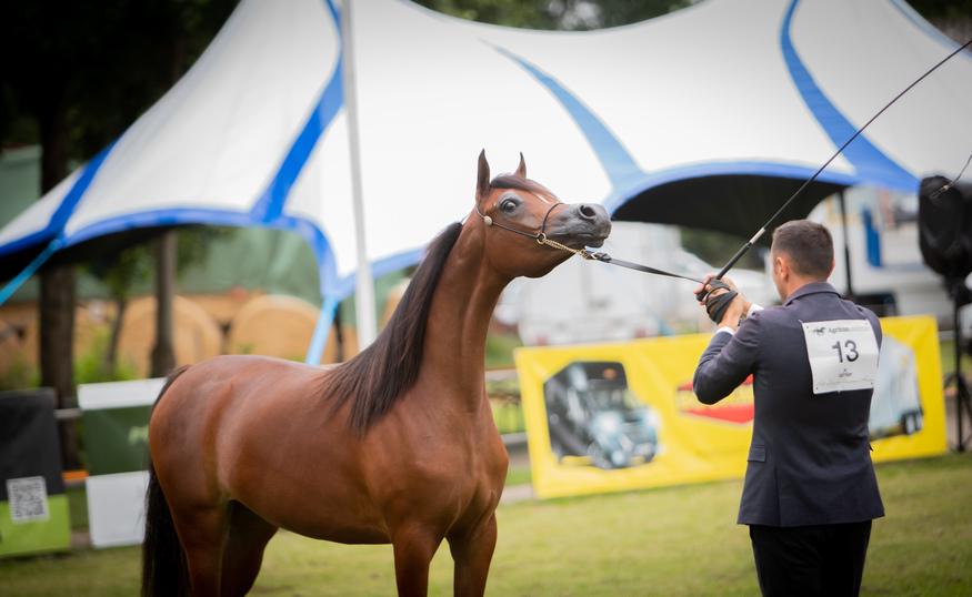 STRÖHEN INTERNATIONAL ARABIAN SHOW HORSES 2019