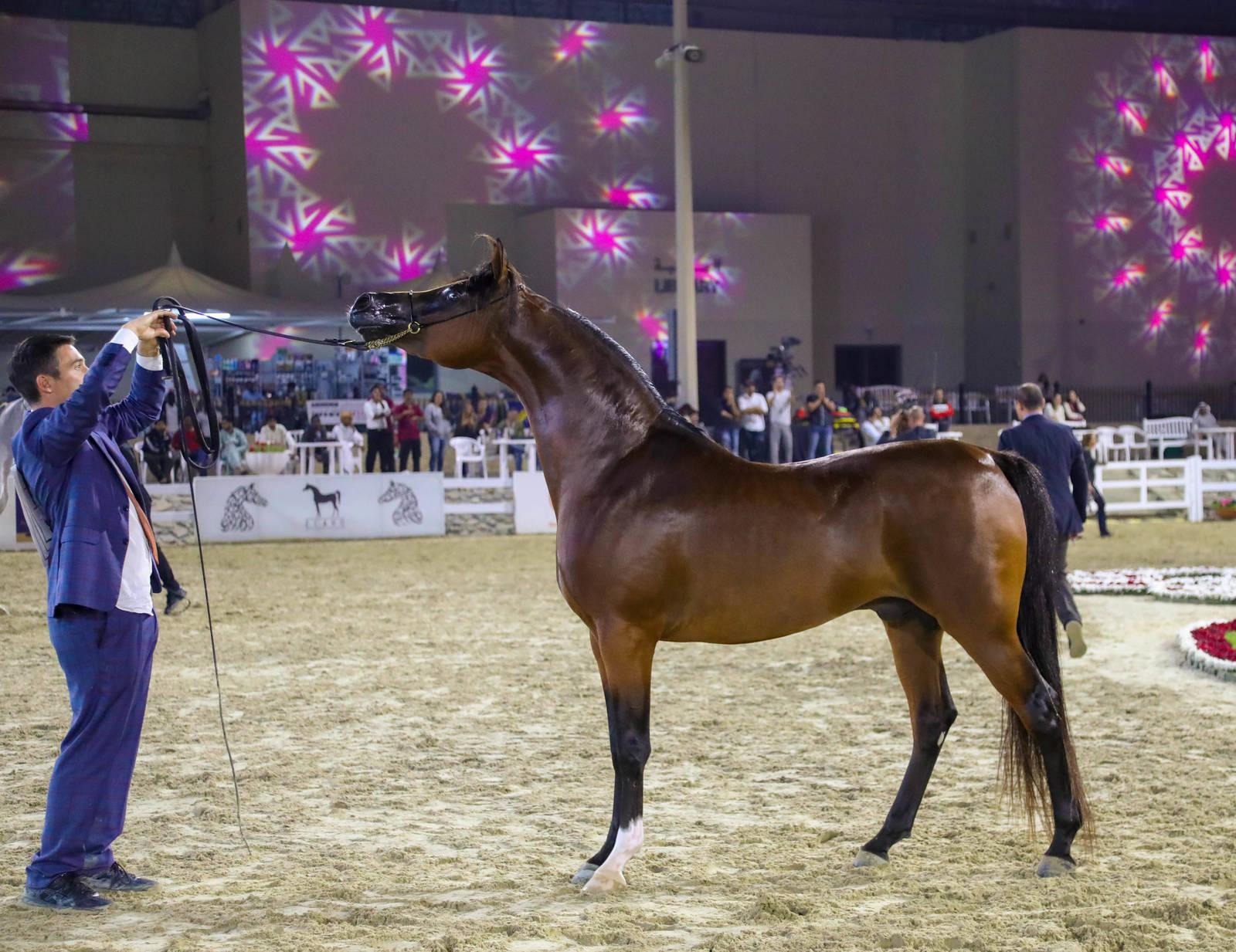 The 16th Sharjah Arabian Horse Festival (Local Bred) 2019