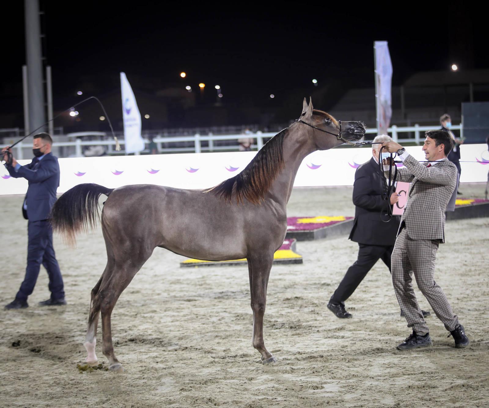 EMIRATES ARABIAN HORSE BREEDERS CHAMPIONSHIP 2021