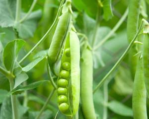 Organic Pea (Matar) Seeds