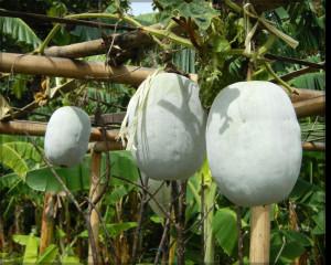 Organic Ash Gourd Seeds