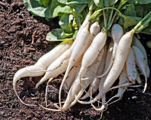 Organic Radish (Mooli) Seeds