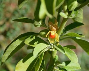 Organic Ashwagandha Seeds