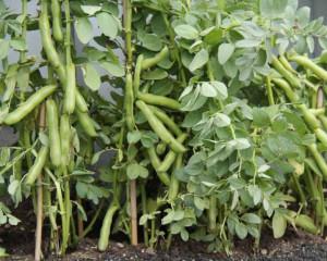 Organic Broad Bean Seeds