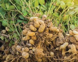 Organic Peanut Seeds