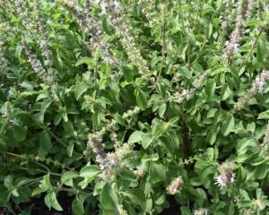 Organic Camphor Basil Seeds