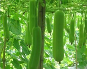 Organic Bottle Gourd Seeds