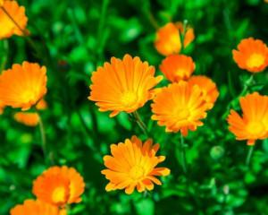 Organic Calendula Seeds