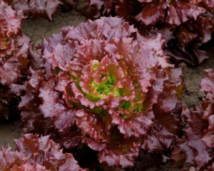 Organic Red Lettuce Seeds
