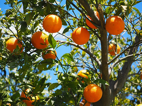 Master Gardeners: Squeeze on Citrus