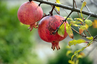 Master Gardeners: Pomegranates