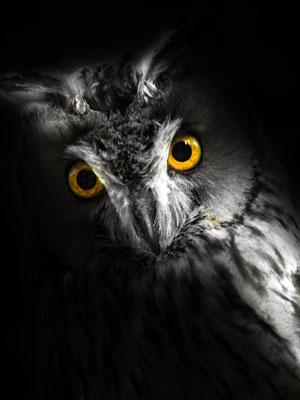 Owl close up photograph.