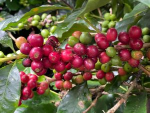 Both red ripe coffee cherries, and green underdeveloped cherries growing on a coffee tree