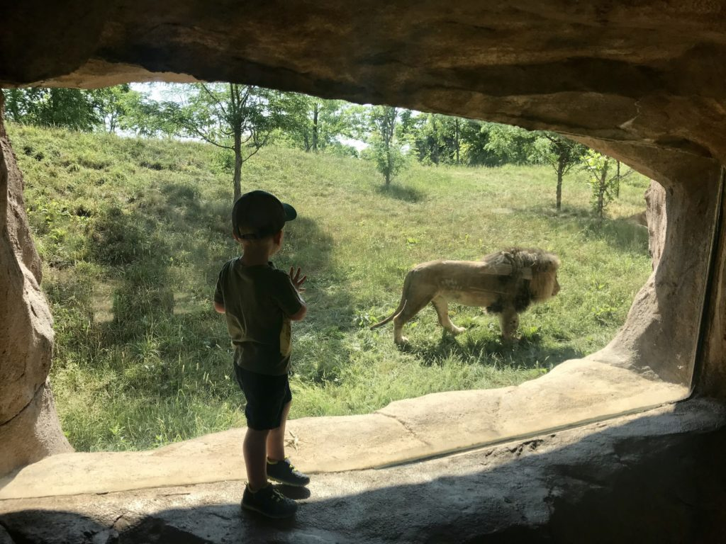 My son looking at a male lion