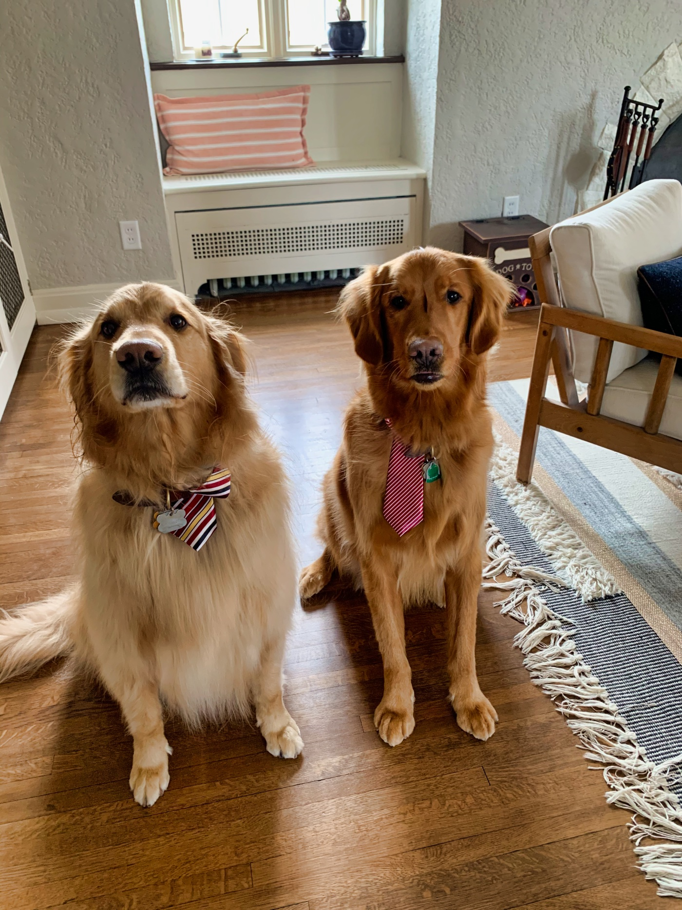 Two golden retrievers sitting