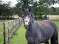 horseroisin