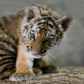 steel_tiger