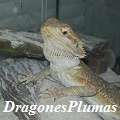 dragonesplumas