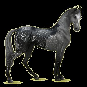 Riding Horse Marwari Dapple Gray