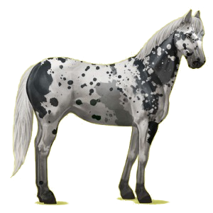 Riding Horse Appaloosa Bay Spotted Blanket