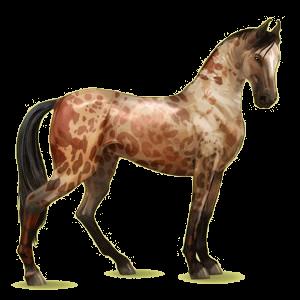 Riding Horse Marwari Black Overo