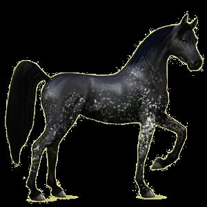 Riding Horse Arabian Horse Roan