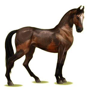 Riding Horse Marwari Cherry bay