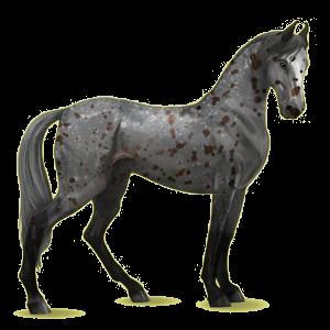 Riding Horse Marwari Black