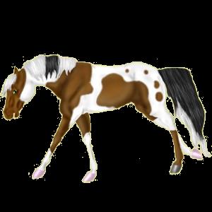 Riding Horse Marwari Cremello