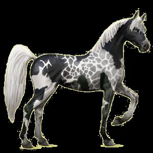 Riding Horse Arabian Horse Strawberry roan