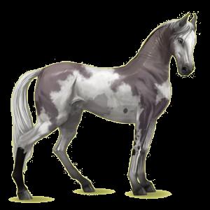Riding Horse Marwari Mouse gray Tobiano