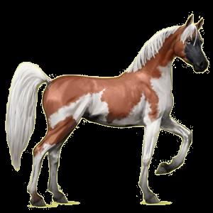 Riding Horse Arabian Horse Cherry bay