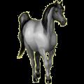 Riding Horse Barb Dapple Gray
