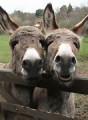 sp dusty hollow donkeys
