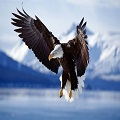 eagle flying unicorns